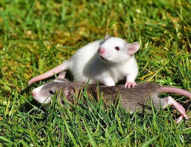 крысы в снах