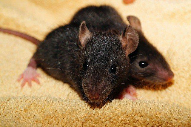крысы к чему снятся
