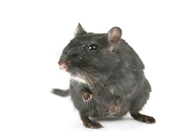 крыса во снах