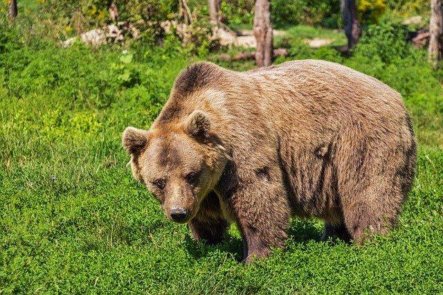 медведь снится