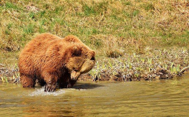 сонник-медведь