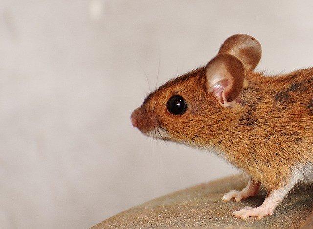снится мышь