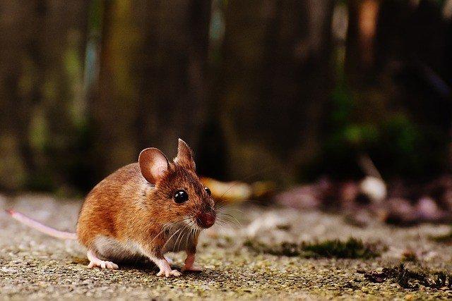 сон о мышах