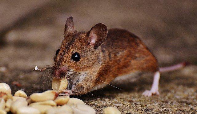 сонник-мышь