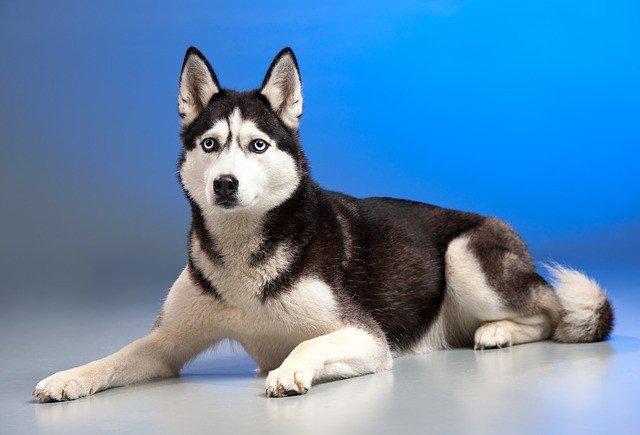 собака-сонник