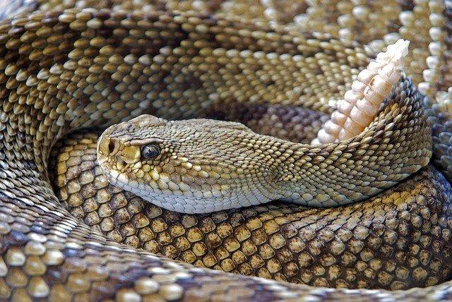змея-сонник