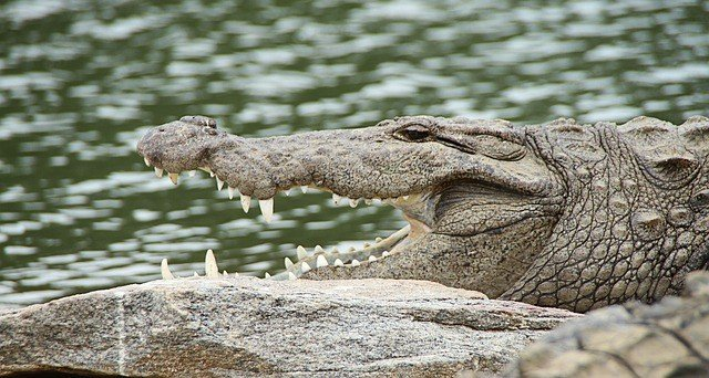 сонник-крокодил