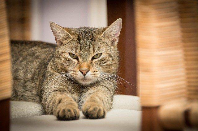 сонник-кошка